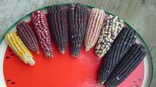 El maíz transgénico y la reforma del campo