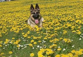 chien, couché dans le fleurs