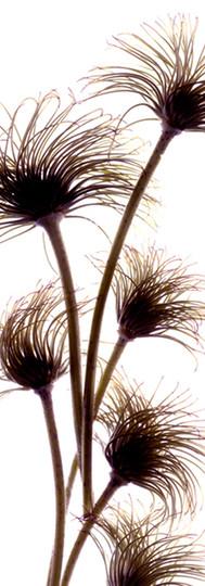 Clematis Buds.jpg