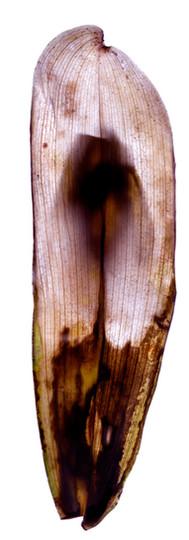 Orchid Leaf.jpg