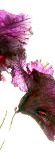 Violet Breeze.jpg