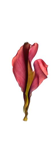 Tulip Petals Three.jpg