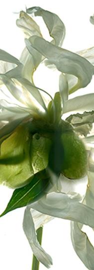 White Peony Closeup.jpg