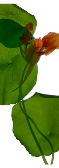 Nasturtium and Leaves.jpg