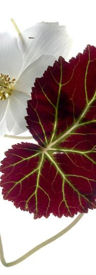 Begonia White.jpg