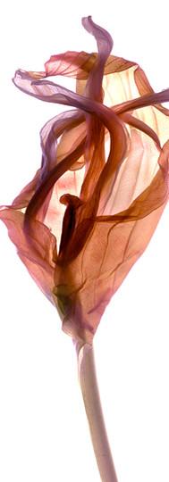 Hosta Leaf Wrap.jpg