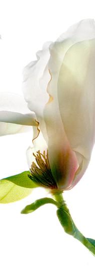 Woodhall Magnolia.jpg