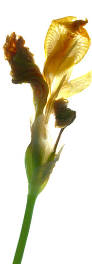Iris Yellow.jpg