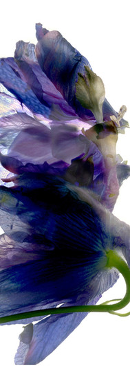 Delphinium Dance.jpg