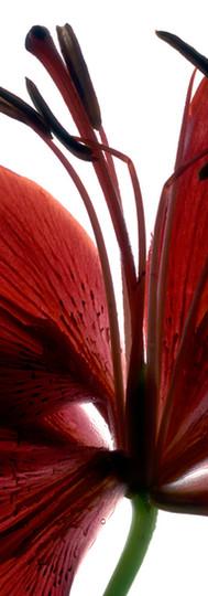 Lily-Red.jpg