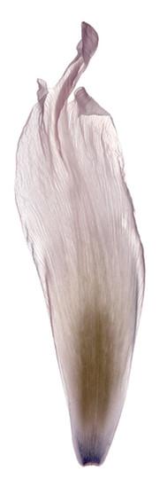 Tulip Petal Single White.jpg