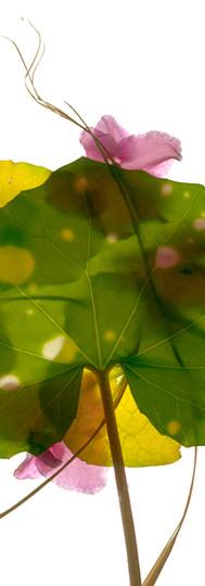 Leopard Leaf Violet.jpg