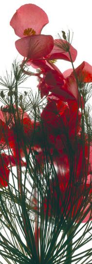 Dill Begonia.jpg