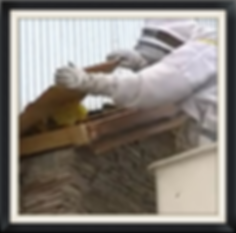 Commercial Bee Removal