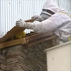 Complex Honey Bee Removals