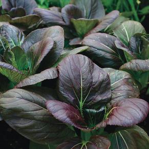 Grow Leafy Veg Workshop: Purple Pakchoy Edition