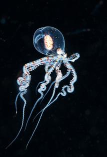 Juvenil Octopuss