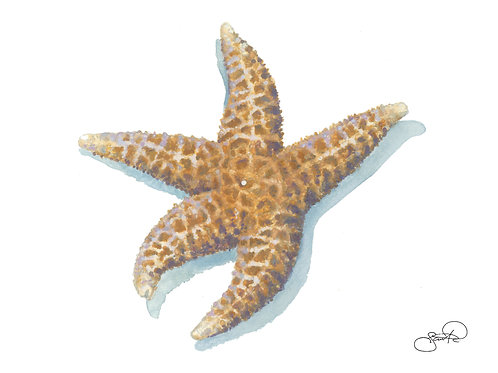 Dried Sea Star