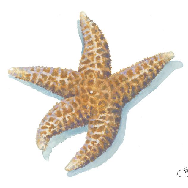 Dried Sea Star Card