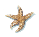 Dried Sea Star PNG.png