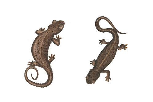 Rough-skinned Newts Card