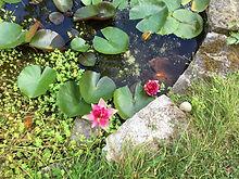 lotus 1 IMG_7138.jpg