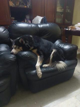 Rescued Husky