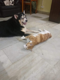 Rescued Husky & Cat