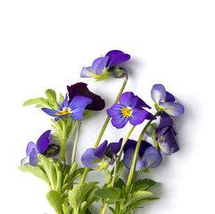 Fragrance | Violette
