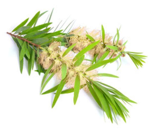 Eau florale d'arbre à thé