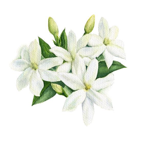 Fragrance naturelle | Jasmin