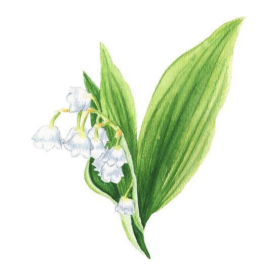 Fragrance naturelle | Muguet