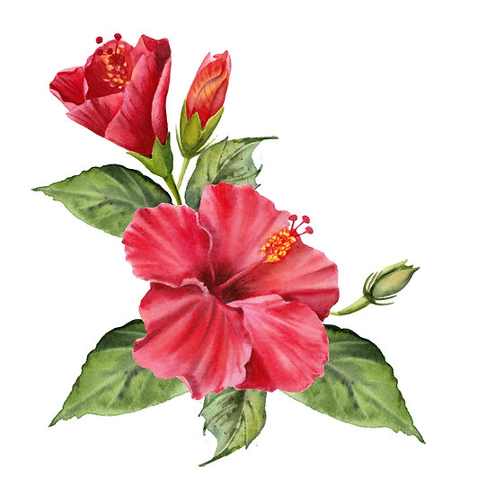 Fragrance naturelle | Hibiscus