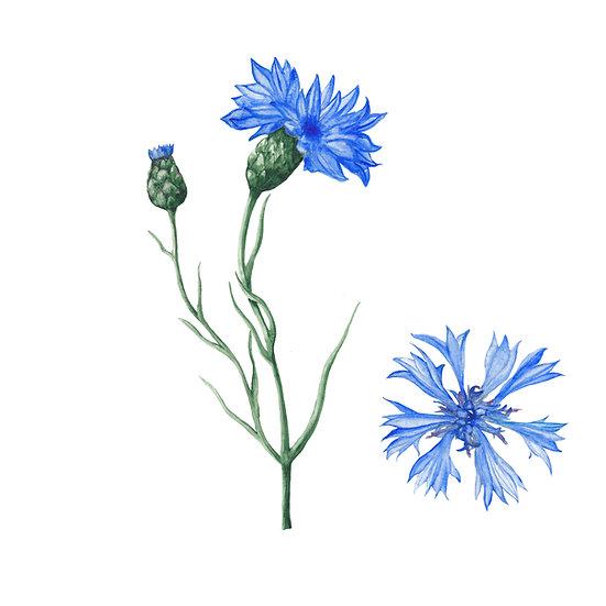 Fragrance naturelle | Bleuet