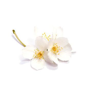 Fragrance | Jasmin