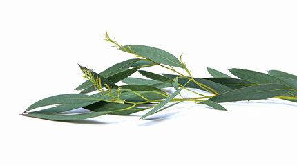 Eau florale d'eucalyptus