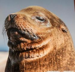 sea lion in sc