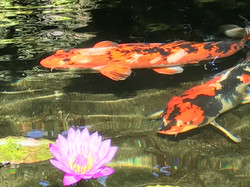 lotus and beauties