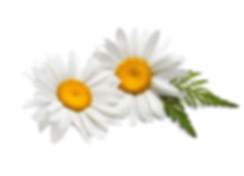 פרחי קמומיל | ואלרי מרטינו נטורפתית
