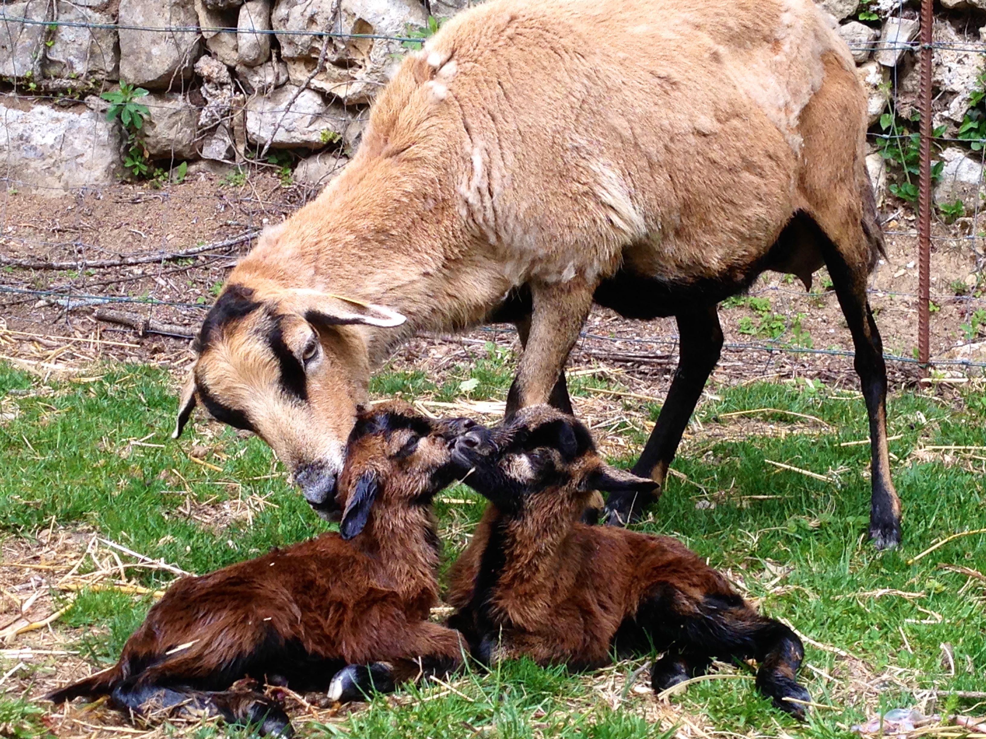 Les moutons du cameroun
