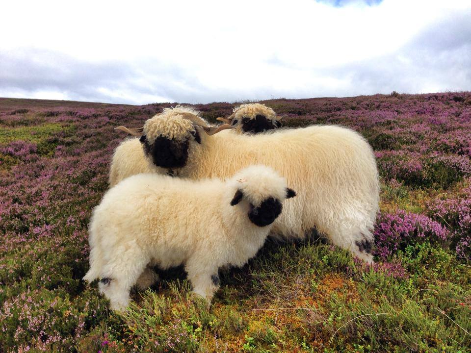 Valais Blacknose Sheep Scotland