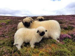 Valais Blacknose Sheep Scotland