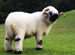 mouton-nez-noir-Valais-