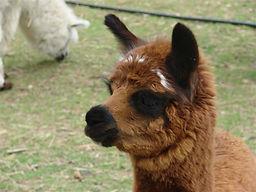 Burgandi - Alpaga né à l'élevage