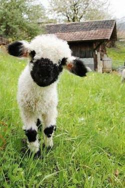 agneau nez noirs du valais