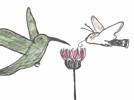 Kolibris in Europa? Taubenschwänzchen und die konvergente Evolution