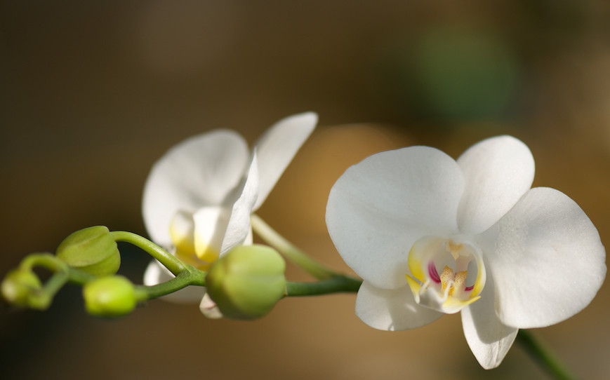Spectra Orchids