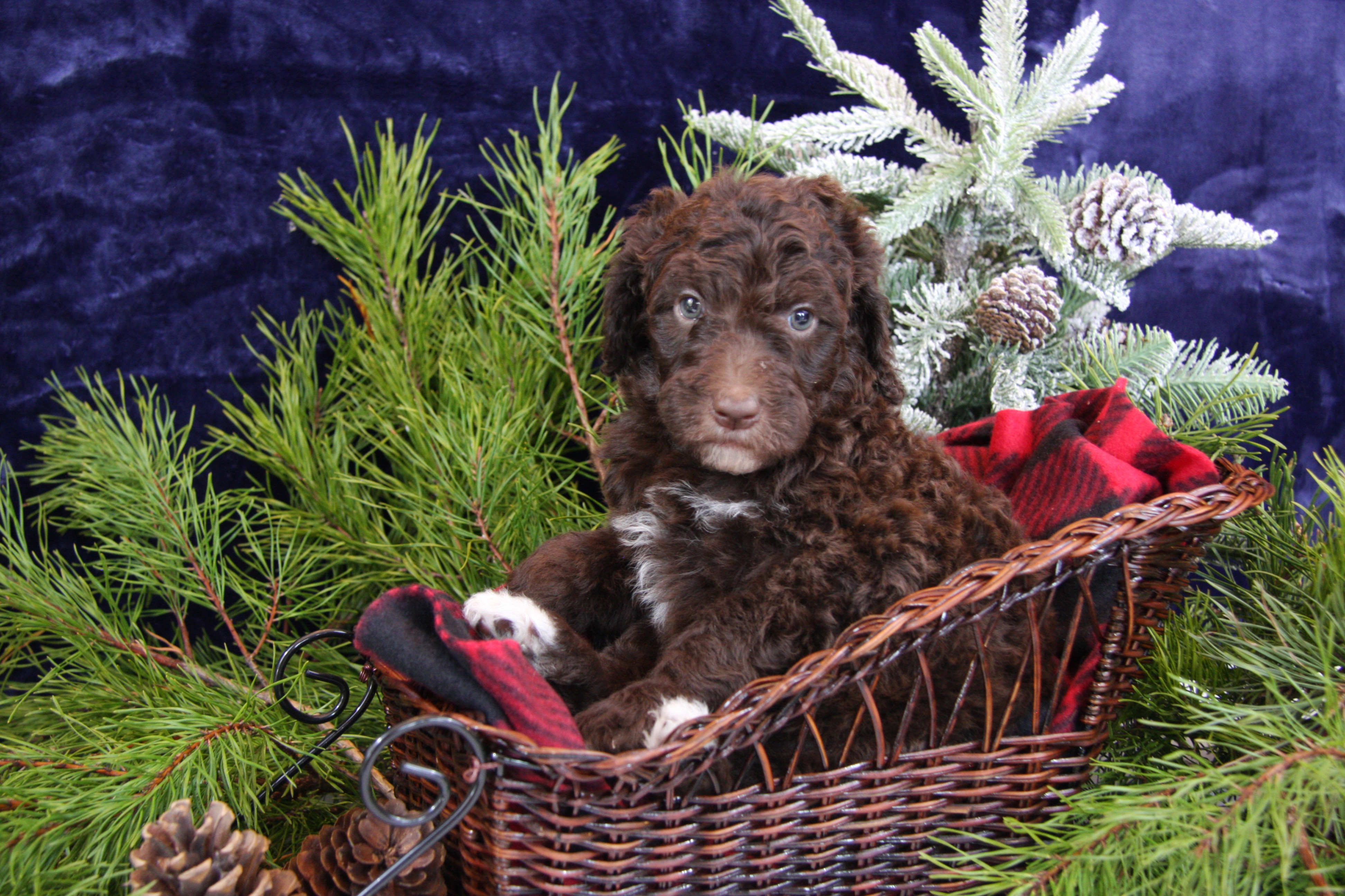 Labradoodle Puppies Tennessee Lovely Little Labradoodles