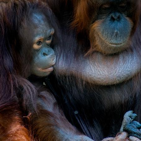 No homes for orangutans': part two