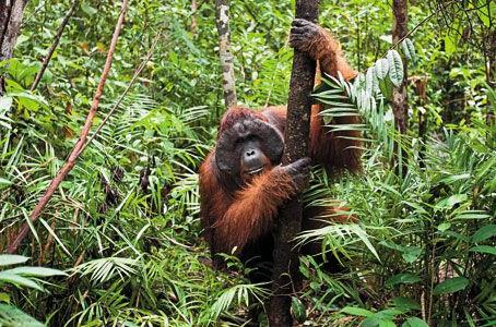 No homes for orangutans': part one